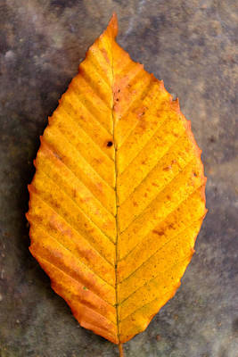 Photograph - Autumn Beech Leaf On Stone Two by Chris Bordeleau
