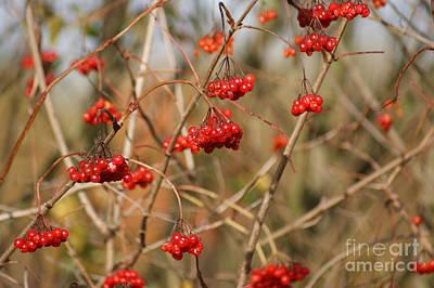 Maple Leaf Art Mixed Media - Autumn Berries by Carol Lynch