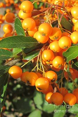 Autumn Berries Pyracantha Art Print