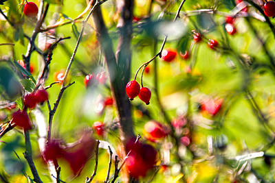 Burgundy Photograph - Autumn Berries  by Stelios Kleanthous