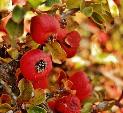 Photograph - Autumn Berry Shrub 2 by VLee Watson
