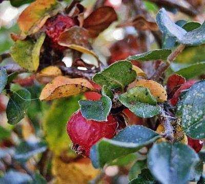 Photograph - Autumn Berry Shrub by VLee Watson