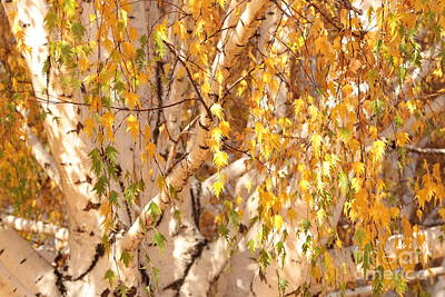 Photograph - Autumn Birch Leaves by Carol Groenen