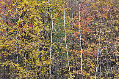 Photograph - Autumn Birch Woods by Alan L Graham