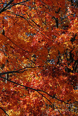 Photograph - Autumn Blaze by Linda Shafer