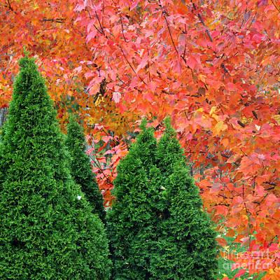 Photograph - Autumn Blaze Maple Trees And Arborvitae by Karen Adams
