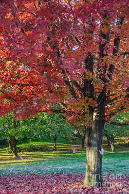 Photograph - Autumn Blaze Red Maple Tree by Tamara Becker
