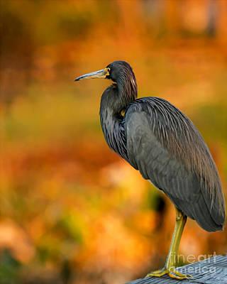 Photograph - Autumn Blue Heron by Sabrina L Ryan