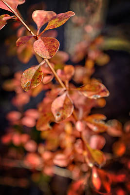 Photograph - Autumn Bramble by Chris Bordeleau