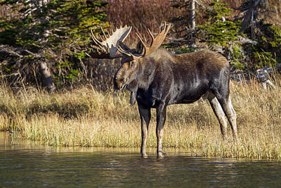 Photograph - Autumn Bull Moose by Jack Bell