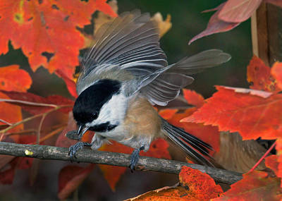 Photograph - Autumn Chickadee by Leda Robertson