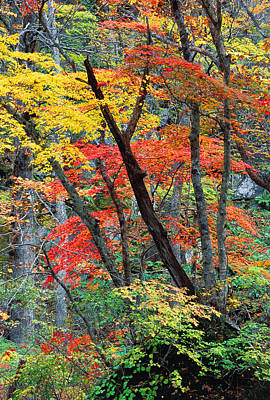 Autumn Color Japan Maples Art Print by Robert Jensen
