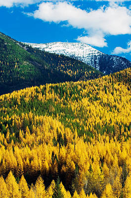 Tranquil Mountaintop Photograph - Autumn Color Larch Trees In Pine Tree by Panoramic Images