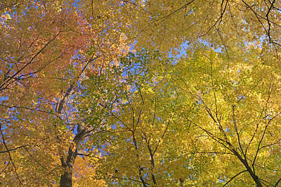 Of Nature Photograph - Autumn Color Maple Tree Canopy, Mille by Panoramic Images