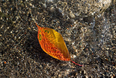Photograph - Autumn Colors And Playful Sunlight Patterns - Cherry Leaf by Georgia Mizuleva