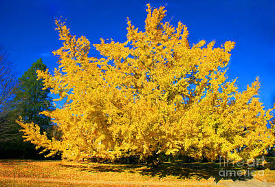 Photograph - Autumn Colors Gingko Tree  by Jinx Farmer