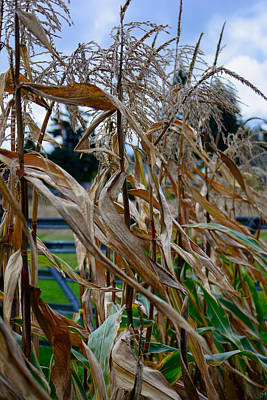 Photograph - Autumn Corn by Tikvah's Hope