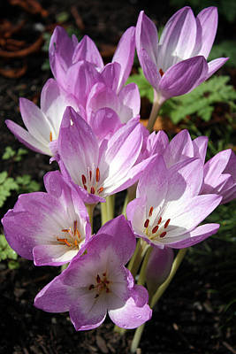 Photograph - Autumn Crocus by Gerry Bates