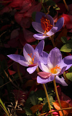 Photograph - Autumn Crocus by Robin Street-Morris