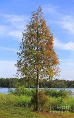 Photograph - Autumn Cypress Tree by Carol Groenen