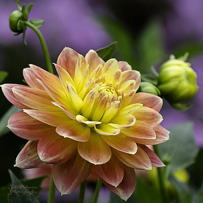 Photograph - Autumn Dahlia by Julie Palencia