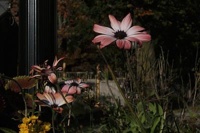 Photograph - Autumn Daisy  Lll by Margie Avellino