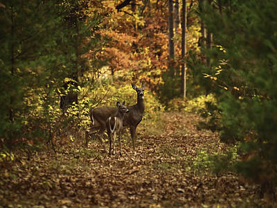 Whitetail Fawn Photograph - Autumn Doe And Fawn by Thomas Young