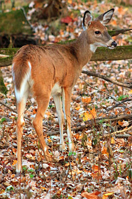 Digital Art - Autumn Doe by Lorna R Mills DBA  Lorna Rogers Photography