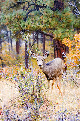 Steven Krull Royalty-Free and Rights-Managed Images - Autumn Doe by Steven Krull