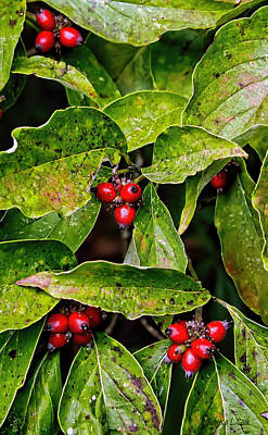 Photograph - Autumn Dogwood Berries by Bellesouth Studio