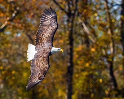 Photograph - Autumn Eagle by Lori Coleman