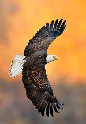 Eagle Photograph - Autumn Eagle by William Jobes