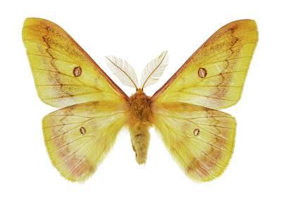 Autumn Emperor Moth Print by F. Martinez Clavel