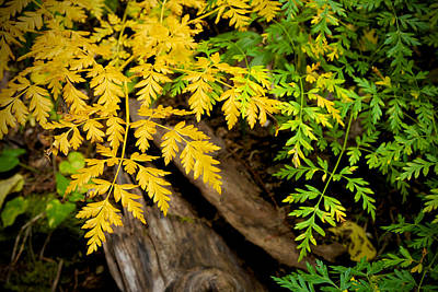 Photograph - Autumn Ferns by Mary Lee Dereske