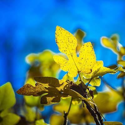 Photograph - Autumn Fig Leaf by Melinda Ledsome