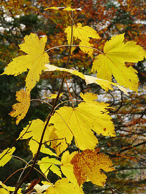 Photograph - Autumn Gold by Phil Banks