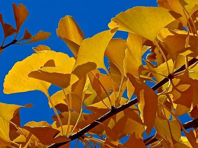 Photograph - Autumn Golden Ginkgo  by Rita Mueller