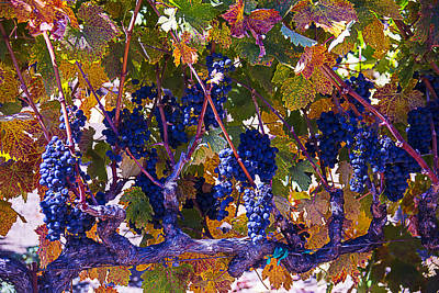 Autumn Grape Harvest Print by Garry Gay