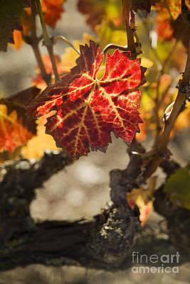 Autumn Grape Leaves Art Print by Charmian Vistaunet