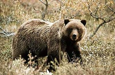 Photograph - Autumn Grizzly by Diane Kurtz