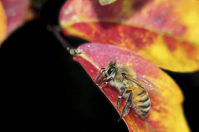 Photograph - Autumn Honey Bee by Jason Politte
