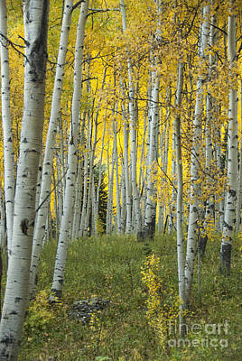 Autumn In The Aspen Grove Art Print by Juli Scalzi
