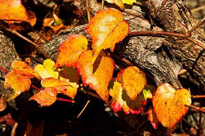 Print featuring the photograph Autumn Ivy by Crystal Hoeveler