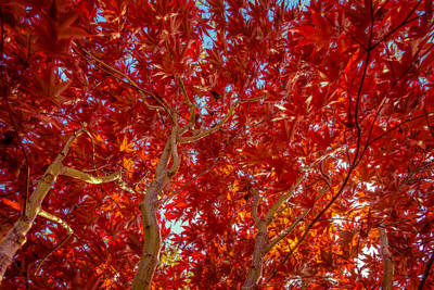 Photograph - Autumn Japanese Maple by Chris Bordeleau