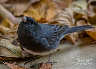 Photograph - Autumn Junco by Cheryl Baxter
