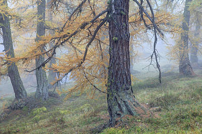 Fall Colors Photograph - Autumn Larch And Fog Alps, Switzerland by Heike Odermatt