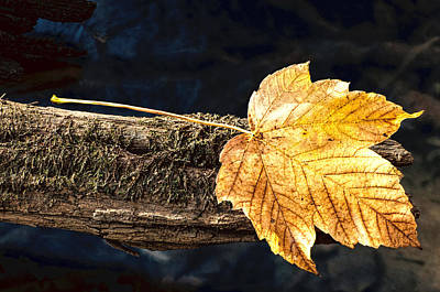 Photograph - Autumn Leaf Balances On Moss Covered Branch by Gary Slawsky