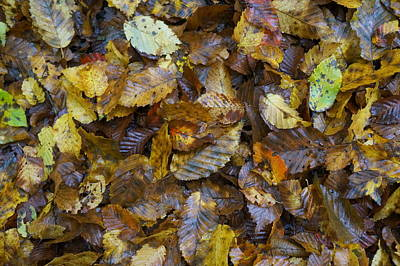 Photograph - Autumn Leaves by David  Hawkins