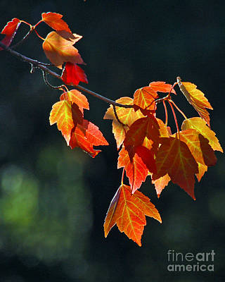 Photograph - Autumn Leaves IIi by Chuck Flewelling