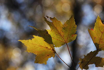 Photograph - Autumn Leaves by Vadim Levin